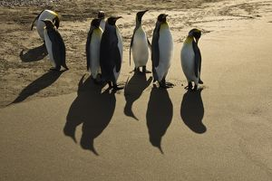 King Penguins (Aptenodytes patagonicus) on a bright golden shoreline, Falkland Islands