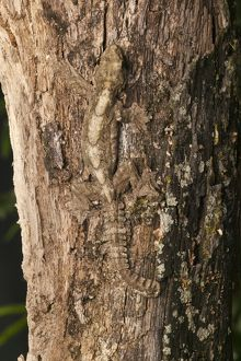 Kuhl's Flying Gecko (Ptychozoon kuhli) Indonesia, captive or controlled situation