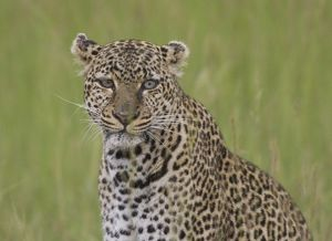 Leopard-close up, Masai Mara National Reserve, Kenya