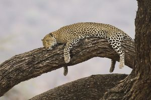 Leopard lying in tree asleep Lake Nakuru National Park Kenya