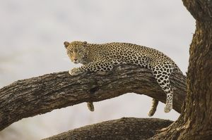 Leopard lying in tree Lake Nakuru National Park Kenya