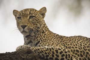 Leopard lying on tree limb-close up Samburu National Reserve Kenya