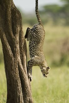 Leopard (Panthera pardus) hunting from tree in Naabi Hill; Serengeti National Park
