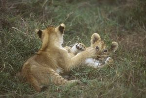 Lion, African Cub Playing (Panthera leo) Kenya, E Africa
