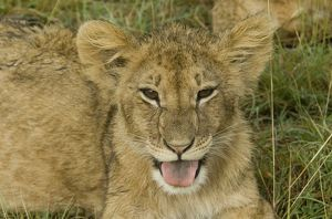 Lion cub-head shot with tongue sticking out, Masai Mara National Reserve, Kenya