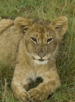 Lion cub lying down, Masai Mara National Reserve, Kenya