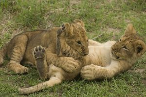 Lion cubs playing Masai Mara Natl Reserve Kenya