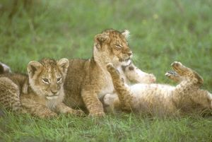 Lion Cubs playing (Panthera leo), Masai Mara GR, Kenya