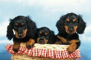 Long-haired Dachshund Puppies