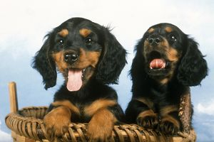 Two Long-haired Dachshund Puppies