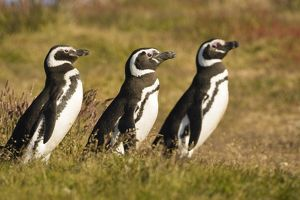Magellanic Penguin (Spheniscus magellanicus) in the grass of the Falkland Islands