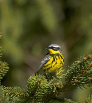 Magnolia Warbler (Dendroica magnolia) male, perched on spruce bough, New York