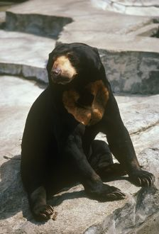 Malayan Sun Bear St. Louis Zoo
