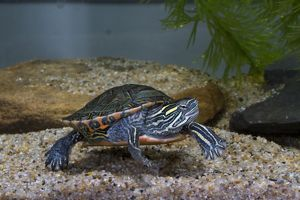 Midland Painted Turtle (Chrysemys picta marginata) Central United States
