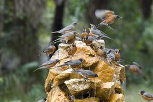 Migrating American Robins (Turdus migratorius) drinking from fountain, Fort DeSoto Park