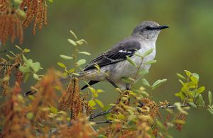 Mockingbird on flowering Scrub Oak Tree (Mimus polyglottos), Florida
