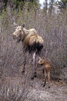 Moose (Alces a. gigas), cow with young calf Denali National Park Alaska