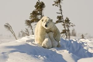 Mother Polar Bear and Cubs, Manitoba, Canada