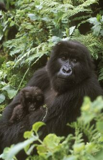 Mountain Gorilla and Baby eating (Gorilla g. beringei), Rwanda