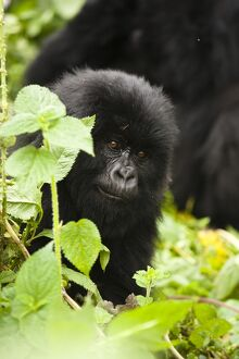 Mountain Gorilla (Gorilla beringei beringei) baby in the vegetation of Volcanoes
