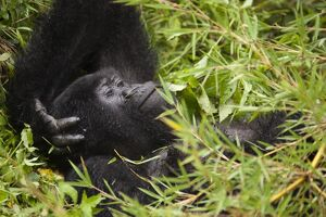 Mountain Gorilla (Gorilla gorilla beringei) resting in the vegetation, Volcanoes