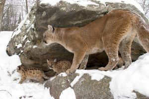 Mountain lion with cubs outside den (Felis concolor) (Captive situation)