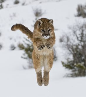 Mountain Lion, Felis concolor; 6 months old, jumping, Montana; Captive; 1/29/08