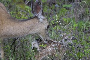 Mule deer doe nuzzling new born fawn, only 10 minutes old, in Yellowstone National Park