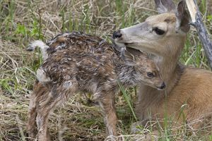 Mule deer doe nuzzling newborn fawn, only 10 minutes old, in Yellowstone National Park