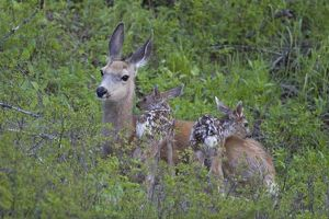 Mule deer new born fawn, 10 minutes old, doe very alert in Yellowstone National Park