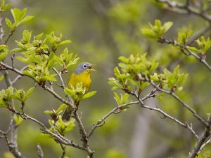 Nashville Warbler (Vermivora ruficapilla) male singing in spring, New York USA