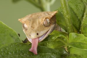 New Caledonian Crested Gecko drinking water (Rhacodactylus ciliatus) controlled conditions licking