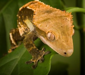 New Caledonian Crested Gecko (Rhacodactylus ciliatus) controlled conditions