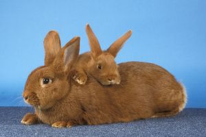 New Zealand Red Rabbit with young