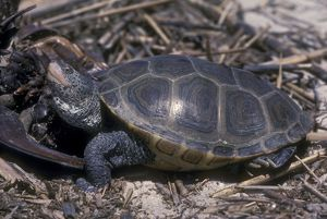No. Diamondback Terrapin