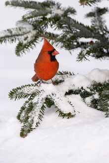 Northern Cardinal (Cardinalis cardinalis) male perched low in snow-covered conifer