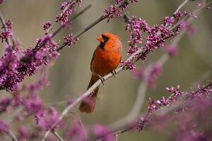 Northern Cardinal (Cardinalis cardinalis) male perched in flowering eastern redbud