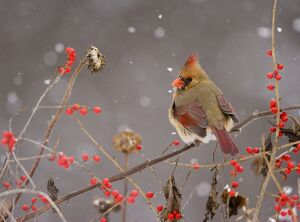 Northern Cardinal (Cardinalis cardinalis) female perched amid berries and seedheads