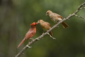 Northern Cardinal (Cardinalis cardinalis) male feeding fledgling while another looks on