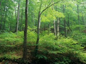 Northern Hardwood Forest Summer Pocono Mountains/PA Pennsylvania