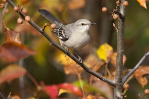 Northern Mockingbird (Mimus polyglottos) in Bradford Pear tree in autumn