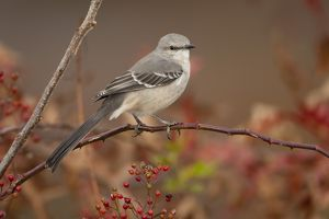 Northern Mockingbird (Mimus polyglottos) perched with Multiflora Rose