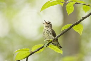 Northern Waterthrush (Seiurus noveborancensis), singing in spring, Ithaca, New York, USA