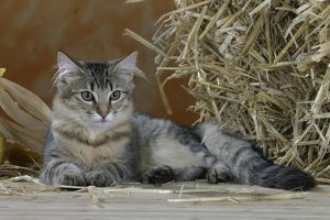Norwegian Forest Cat, black-tabby-mackerel