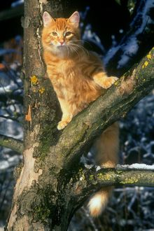 Norwegian Forest Cat in Tree