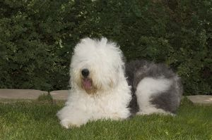 Old English Sheepdog laying down