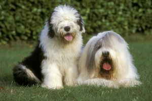 Old English Sheepdog & Pup aka Bobtail