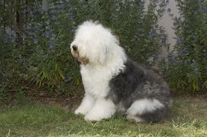 Old English Sheepdog sitting