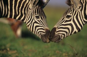 Pair of Burchell's Zebra (Equus burchelli) interacting, KwaZulu-Natal Midlands