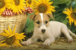 Parson Jack Russell Terrier Puppy, 9 wks old